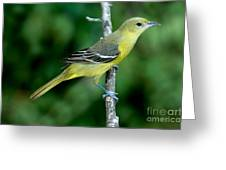 Orchard Oriole Icterus Spurius Female Greeting Card