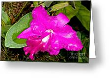Orchid Cattleya Greeting Card