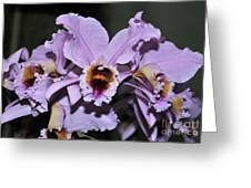 Orchid Cattleya Percivaliana Christmas Cattleya Greeting Card