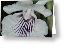 Orchid Cochleanthes Aromatica  Menehune Greeting Card