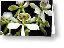 Orchid Encyclia Fragrans Greeting Card