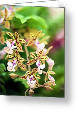 Orchid (epidendrum Stamfordianum) Greeting Card