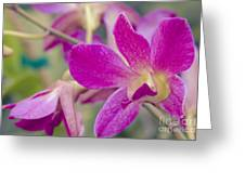 Orchid - Haliimaile Spring Pink Greeting Card
