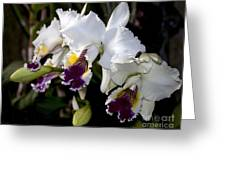 Orchid Laeliocattleya Lucie Hausermann With Buds 4074 Greeting Card