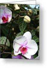 Orchid Three Greeting Card