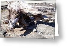 Oregon Beach - Driftwood Trunk Greeting Card