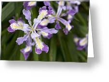 Oregon Irises In Bloom Closeup Greeting Card
