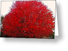 Oregon Red Maple Beauty Greeting Card