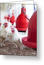 Organic Chicken Coop  Greeting Card