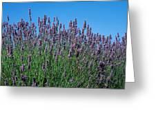 Organic Lavender Greeting Card