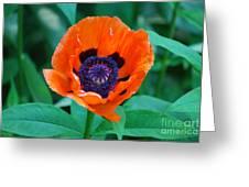 Oriental Poppy Flower Greeting Card