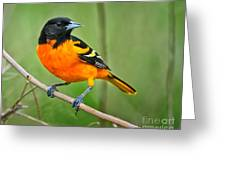 Oriole Perched Greeting Card