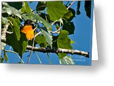 Oriole Watching Greeting Card