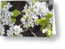 Ornamental Pear Blossoms No. 1 Greeting Card