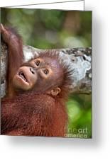 Orphan Baby Orangutan Greeting Card