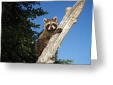 Orphaned Raccoon Greeting Card