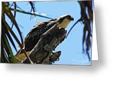Osprey 2 Greeting Card