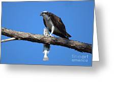 Osprey And Fish No.4  Greeting Card