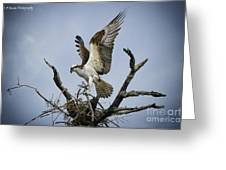 Osprey Building A New Nest Greeting Card