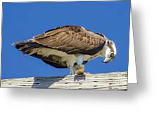 Osprey Eating Lunch Greeting Card