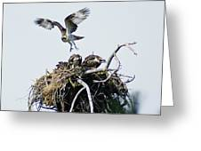 Osprey In Flight Over Nest Greeting Card