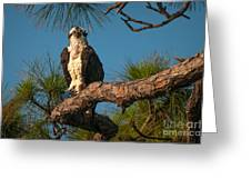 Osprey In Pine 1 Greeting Card