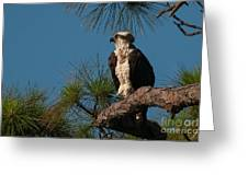 Osprey In Pine 2 Greeting Card