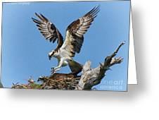 Osprey Mating Greeting Card