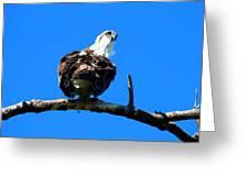 Osprey On A Branch Greeting Card