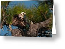 Osprey Preen 1 Greeting Card