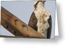 Osprey -seahawk Greeting Card