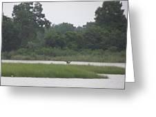 Osprey Wings Landing Greeting Card