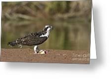 Osprey With Breakfast Greeting Card