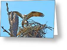 Ospreys Copulating In New Nest2 Greeting Card