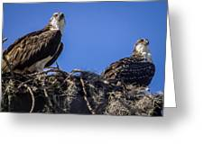 Ospreys In The Nest Greeting Card