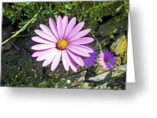 Osteospermum - African Daisy - Pink Greeting Card
