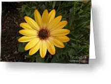 Osteospermum Orange Daisy Greeting Card