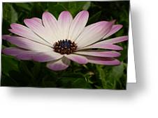 Osteospermum Whiter Shade Of Pale Greeting Card