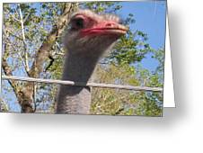Ostrich Male Close Up Greeting Card