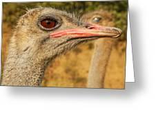Ostrich Closeup Greeting Card by Jess Kraft