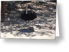 Ostrich Dance Greeting Card