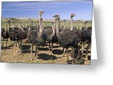 Ostrich Females South Africa Greeting Card