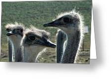 Ostrich Round-up Greeting Card