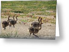 Ostrich Young Greeting Card