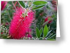 Our Bottlebrush Tree Greeting Card