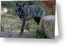 Out Of Africa Black Wolf Greeting Card