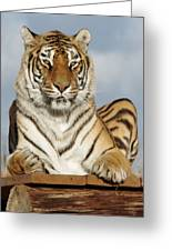 Out Of Africa Tiger 4 Greeting Card