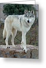 Out Of Africa Wolf  Greeting Card