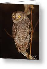 owl of Madagascar Greeting Card