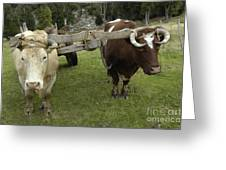 Oxen Greeting Card